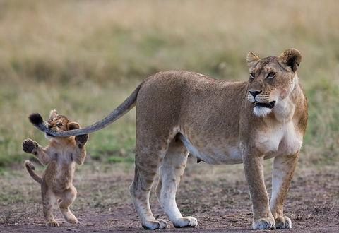 Фото Львенок кусает маму-львицу за хвост