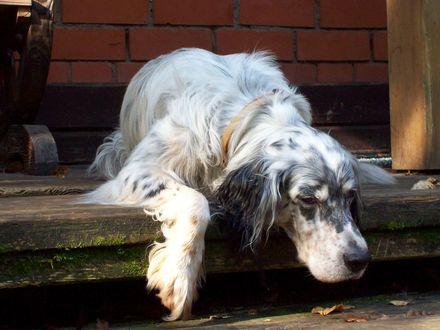 Фото Грустная собака лежит на крыльце