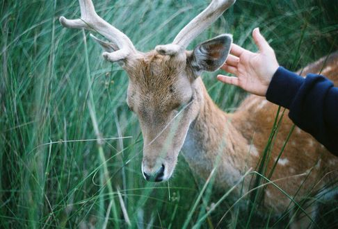 Фото Детская рука гладит оленя