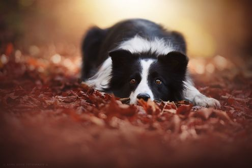 Фото Пес лежит в листве, фотограф Anne Geier