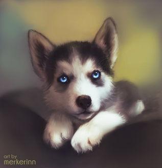 Фото Щенок хаски с голубыми глазами, by merkerinn