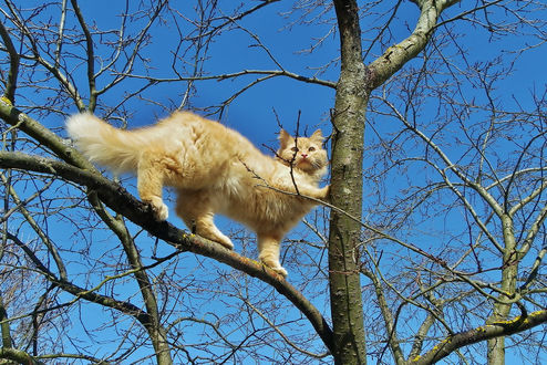 Фото Рыжий пушистый кот стоит на ветке обнаженного дерева, by Святец Вячеслав