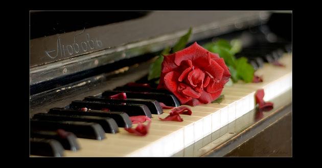Фото Роза, лежащая на клавишах пианино с надписью любовь, черная рамка, by life-is-good