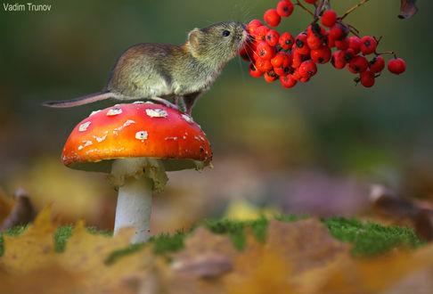 Фото Полевая мышь сидит на мухоморе перед веткой рябины, фотограф Вадим Трунов