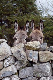 Фото Два осла выглядывают из-за изгороди из камней