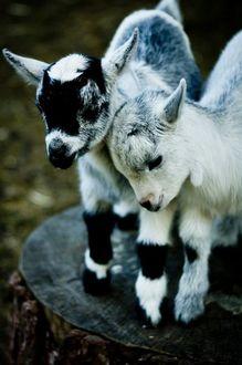 Фото Два козленка стоят на пеньке