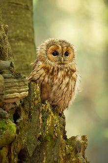 Фото Совенок неясыти на поломанном дереве