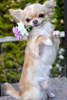 Фото Собака породы чихуахуа с цветами на размытом фоне