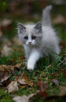 Фото Пушистый котенок гуляет по траве, усыпанной осенними листьями