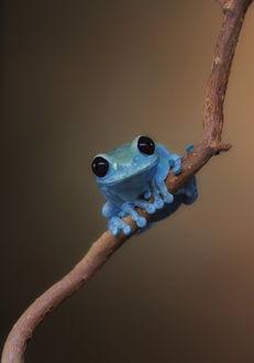 Фото Маленькая голубая лягушка на ветке