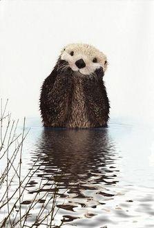 Фото Бобер стоя по пояс в воде, подперев передними лапами голову, о чем то задумался