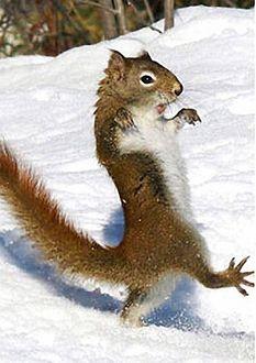 Фото Белка гордо вышагивает на задних лапках по снегу