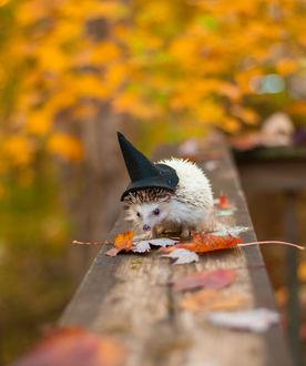 Фото Ежик в ведьменской шляпе на осенних листьях