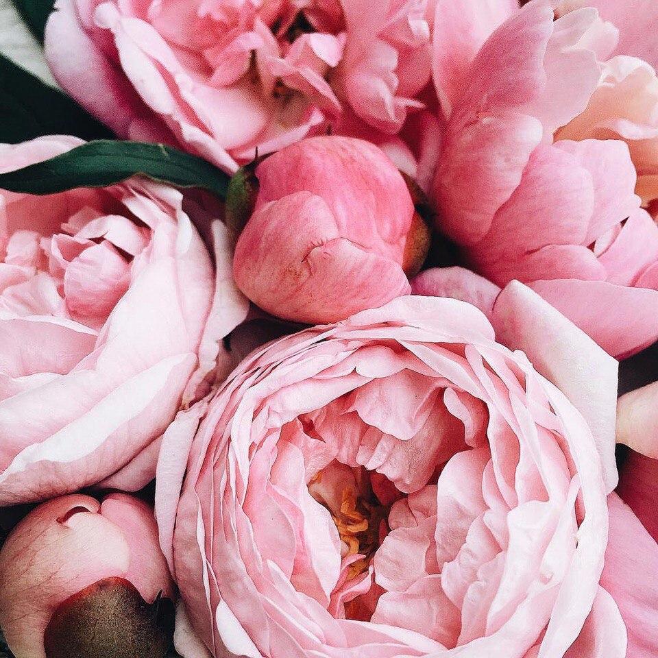 Розовые пионы в макросъемке