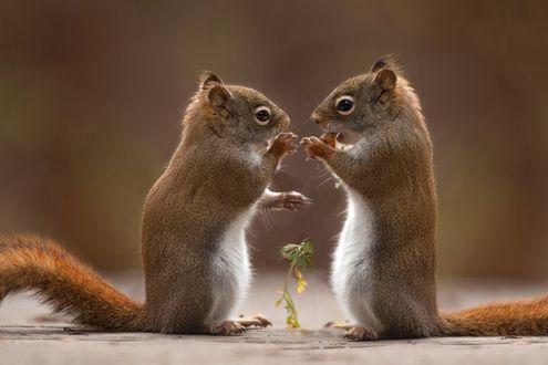 Фото Две белки стоят друг против друга, фотограф Andre Villeneuve