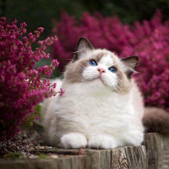 Красивая персикового цвета кошка, обои с кошками 15