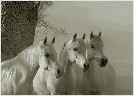 Фото Фото трех красивых белых лошадей