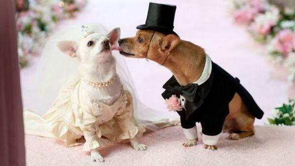 Фото Свадьба двух собак породы Чихуахуа в костюмах