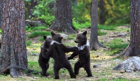 Фото Бурые медвежата водят в лесу хоровод