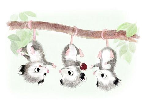 Фото Три опоссума висят вниз головой на ветке, иллюстрация Sydney Hanson
