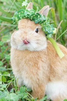 Фото Рыжий кролик в венке из зеленых листьев показывает язык