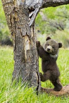 Фото Медвежонок Гризли собирается взобраться на дерево
