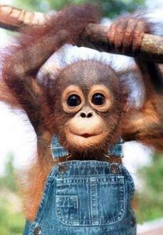 Фото Детеныш орангутана повис на ветке дерева