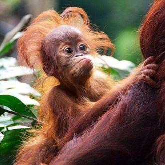 Фото Пушистый детеныш орангутана и его мама