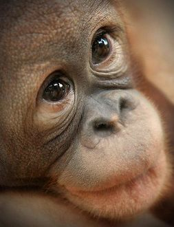 Фото Портрет обезьяны орангутана