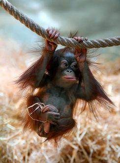 Фото Маленькая обезьяна орангутан висит на канате