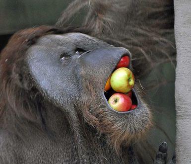 Фото Обезьяна напихала полный рот спелых яблок