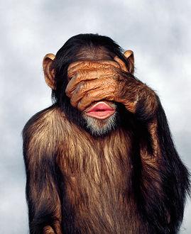 Фото Обезьяна шимпанзе прикрыла глаза передней конечностью