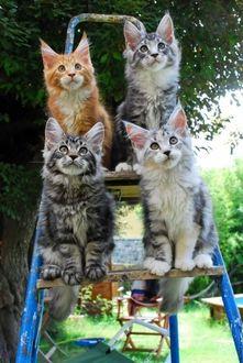 Фото Четыре разномастных котенка сидят на стремянке и за чем то внимательно наблюдают