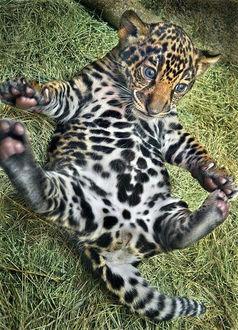Фото Детеныш ягуара лежит на спине