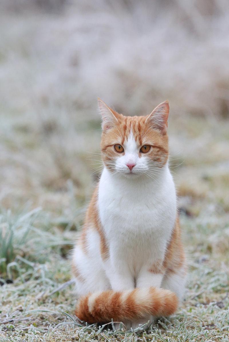 бело рыжий кот фото