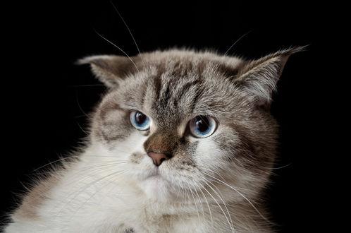 Фото Удивленная морда голубоглазого кота на черном фоне