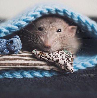 Фото Мышонок с маленьким игрушечным мишкой под вязанным одеялом, by masha_littlefox