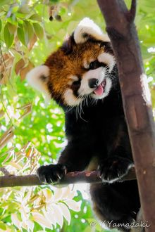 Фото Красная панда показывает язык, by Y. Yamazaki
