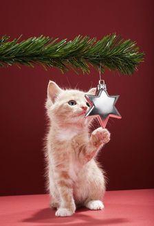 Фото На красном фоне рыжий котенок играет с елочной игрушкой звездой на ветке елки