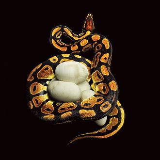 Фото На черном фоне змея охраняет свое гнездо с яйцами, фотограф Mark Laita