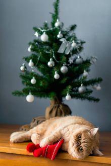 Фото Рыжий кот лежит на полу у елки, фотограф Vladislav Nosick