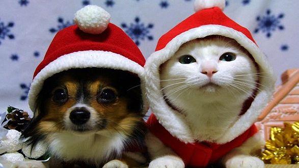 Фото Белый кот и собака сидят в шапочках Санта Клауса