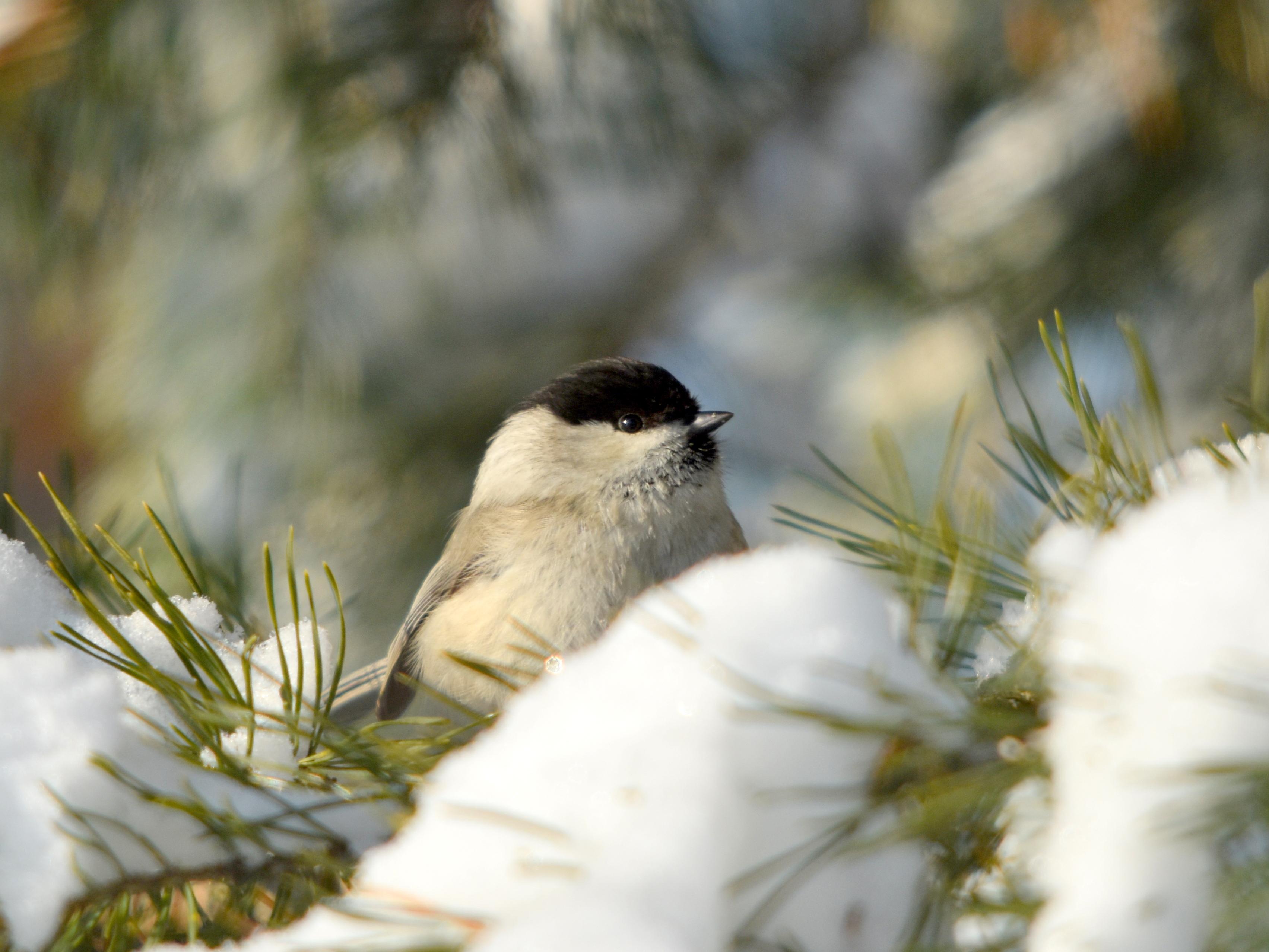 Фото Птичка на заснеженной ветке, фотограф Наталья Неверова