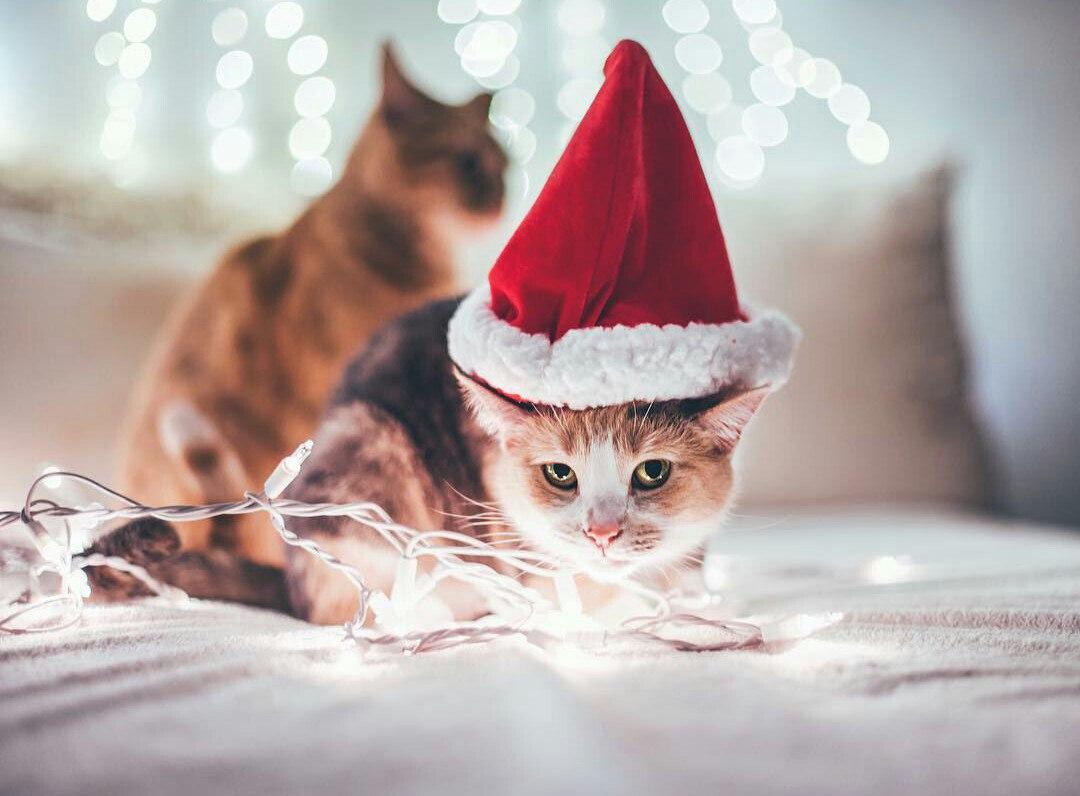 фото котиков в шапочках новогодних рецептов