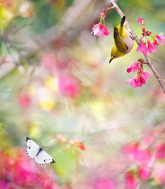 Фото Птичка желтого оттенка, сидящая на ветке дерева с розовыми цветами, смотрит на летящую белую бабочку с черными пятнышками