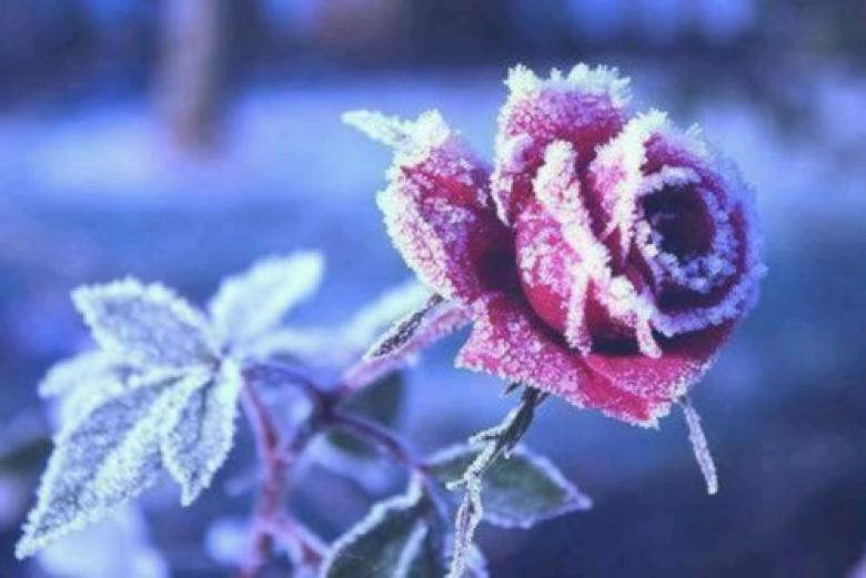 Фото Бордовая роза в инее