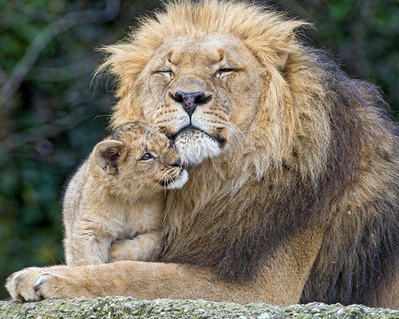 картинка львенок с папой цвет издавна