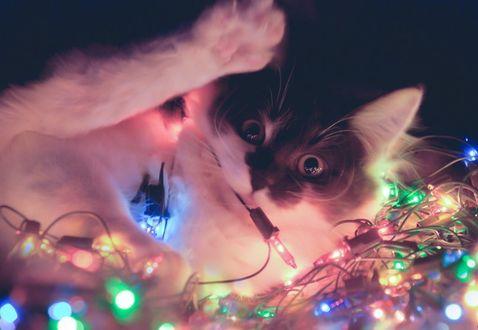 Фото Черно-белый кот запутался в светящейся гирлянде