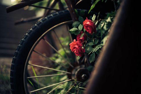 Фото Колесо велосипеда и розы