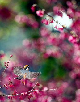 Фото Серая птичка с оранжево-черного оттенка головой взлетает, распахнув крылья, на фоне дерева с розовыми цветами